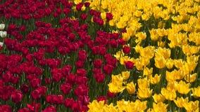 黄色和红色郁金香沼地  股票录像