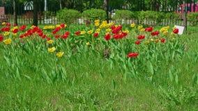 黄色和红色郁金香花圃在前景的和移动的步行者和汽车在背景 影视素材