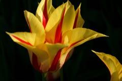 黄色和红色郁金香 免版税图库摄影