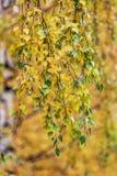 黄色和绿色桦树叶子 免版税图库摄影