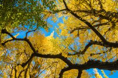 黄色和绿色银杏树离开反对蓝天,银杏树叶子ba 库存图片