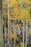 黄色和金子秋天颜色,怀俄明白杨木 免版税图库摄影
