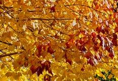 黄色和铁锈槭树在树离开 库存照片