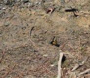 黄色和黑蝴蝶登陆了 库存图片