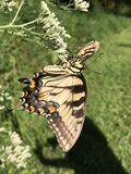 黄色和黑蝴蝶-东部老虎Swallowtail Papilio 免版税库存照片