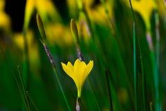 黄色喇叭花花在开花的庭院里  免版税库存图片