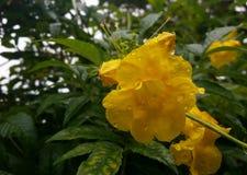 黄色喇叭花花 库存图片