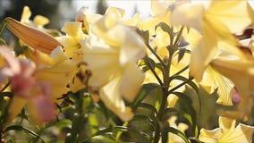 黄色喇叭aurelian百合 生长在夏天庭院里的鲜花花束  r 股票视频