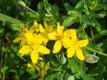 黄色圣约翰` s麦芽酒或金丝桃属植物perforatum开花特写镜头,选择聚焦,浅DOF 库存照片