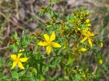 黄色圣约翰` s麦芽酒或金丝桃属植物perforatum开花特写镜头,选择聚焦,浅DOF 免版税库存图片