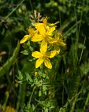 黄色圣约翰` s麦芽酒或金丝桃属植物perforatum开花特写镜头,选择聚焦,浅DOF 库存图片