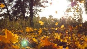 黄色在发光通过它的秋天公园和太阳把落留在 背景美好的横向 五颜六色的秋季 影视素材