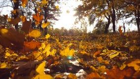 黄色在发光通过它的秋天公园和太阳把落留在 背景美好的横向 五颜六色的秋季 股票视频