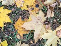 黄色在地面上的下落的叶子 秋天背景特写镜头上色常春藤叶子橙红 免版税库存照片