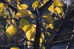 黄色在树,晴朗的天气,秋天离开 免版税库存照片