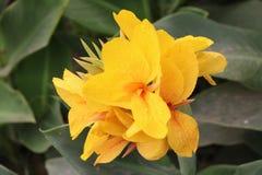 黄色在自然的颜色美丽的花 免版税库存图片