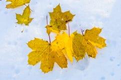 黄色在雪,开始离开在Fruska gora山的一个冬天 免版税库存图片