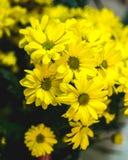 黄色夏天开花玛格丽塔 浪漫花 库存图片