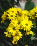 黄色夏天开花玛格丽塔 浪漫花 免版税库存照片