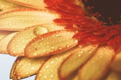 黄色大丁草用水在葡萄酒颜色滴下 库存图片