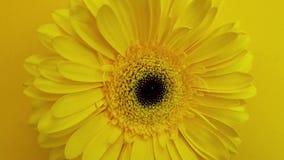 黄色大丁草,在慢动作的轮 股票录像
