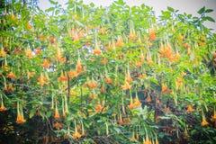 黄色天使的喇叭花(Brugmansia suaveolens)在树 库存照片