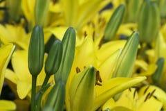 黄色天Lillies 库存照片