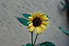 黄色太阳花在庭院里 库存图片