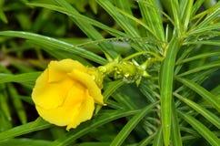 黄色夹竹桃花在雨天 免版税库存照片