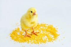 黄色婴孩小鸡1 库存图片