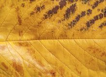 黄色宏观射击叶子秋天庭院秋天自然植物纹理 库存图片