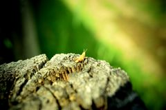 黄色小的蚂蚱 免版税库存图片