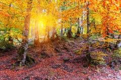 黄色山毛榉森林 免版税库存图片