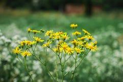 黄色山金车蒙大拿在领域开花 免版税库存照片