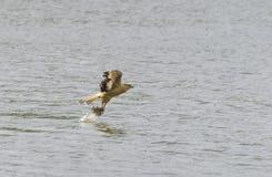 黄色带头的长腿兀鹰渔 免版税图库摄影