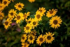 黄色庭院花,雏菊 免版税库存照片
