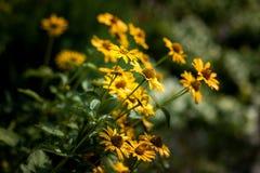 黄色庭院花,雏菊 免版税库存图片