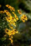 黄色庭院花,雏菊 库存照片