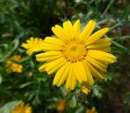 黄色延命菊茼莴植物 免版税库存照片