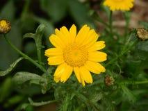 黄色延命菊茼莴植物 图库摄影