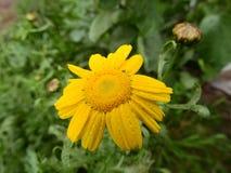 黄色延命菊,茼莴植物 免版税图库摄影