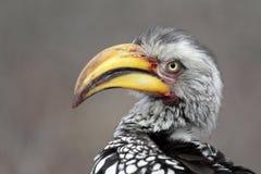 黄色开帐单的犀鸟 免版税库存图片