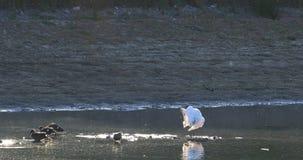 黄色开帐单的篦鹭,Platalea flavipes,在池塘4K 股票视频