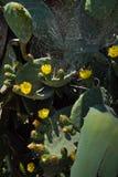 黄色开花仙人掌和蜘蛛网在他们上 野生生物 关闭 一个垂直的图象 库存照片