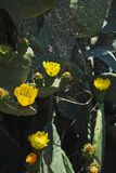 黄色开花仙人掌和蜘蛛网在他们上 野生生物 关闭 一个垂直的图象 库存图片