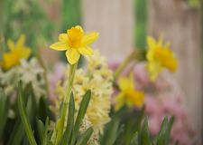 黄色开花在春天的黄水仙和风信花从事园艺 免版税库存图片