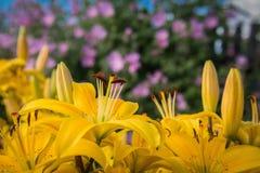 黄色开花在紫色野生植物背景的百合  免版税库存照片