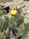 黄色开花的仙人掌 免版税库存照片