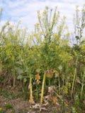 黄色开花的无头甘蓝、比赛和农田鸟遮盖作物 免版税库存图片