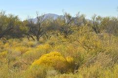 黄色开花的沙漠植物和山风景 库存图片